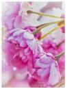 Cherry Blossom in the Sun