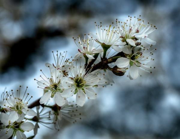 May Blossom by richard44
