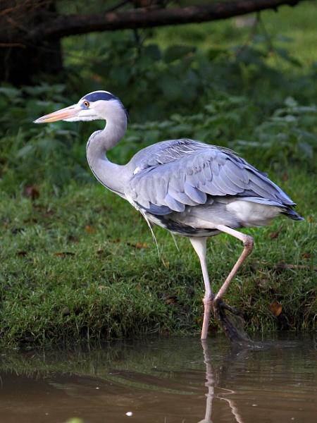 Grey Heron by bobpaige1