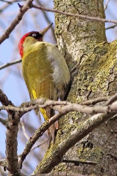 Green Woodpecker by bobpaige1