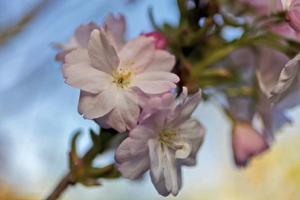 Spring Blossoms - Prunus Serrulata by jimul
