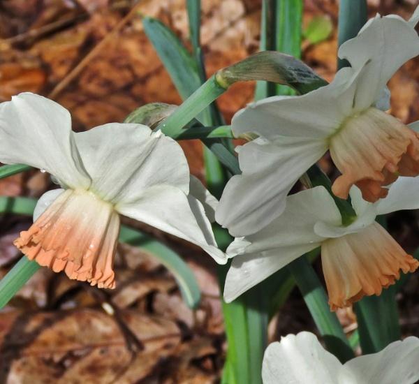 Unusual daffodils by sheilajean48