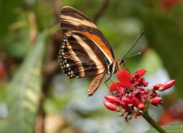 Harmonia Tiger WIng.  ( Tithorea Harmonia) by frogs123