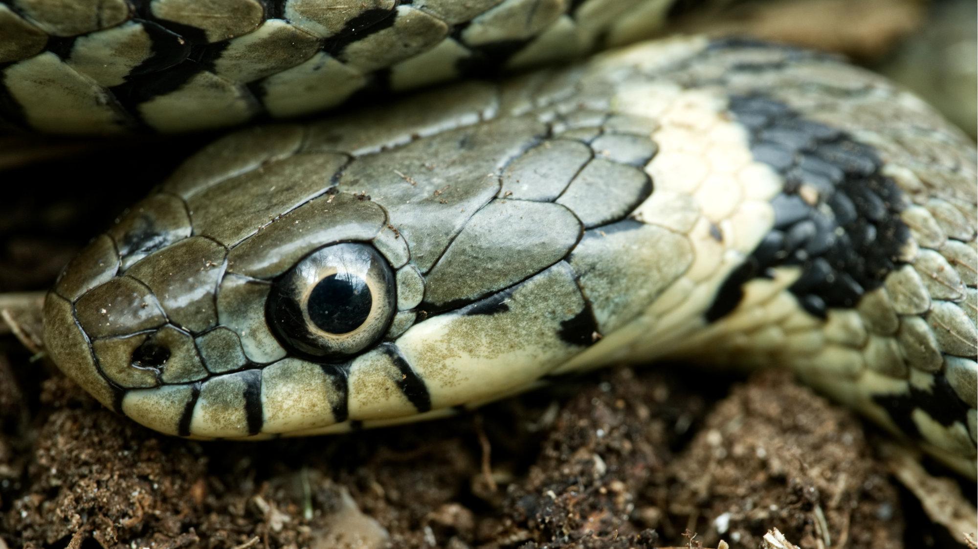 Snakes Eye