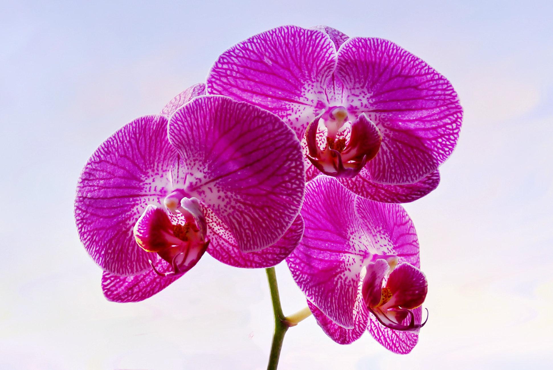 Sunbathing Phalaenopsis