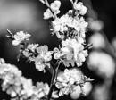 Blossom & bokeh --  weekly b&w challenge