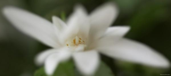 Cactus flower by HarmanNielsen