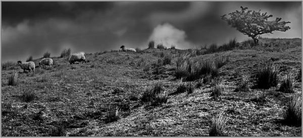 Moorland Sheep by AlfieK