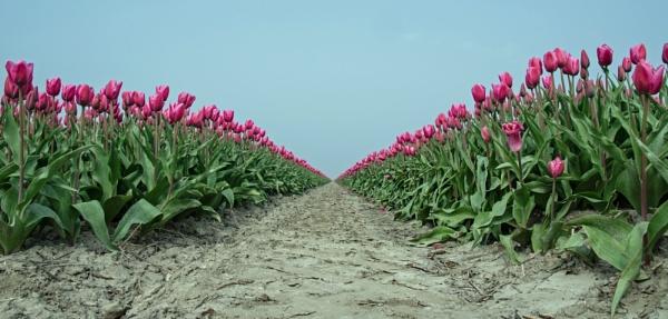 Tulips again by joop_