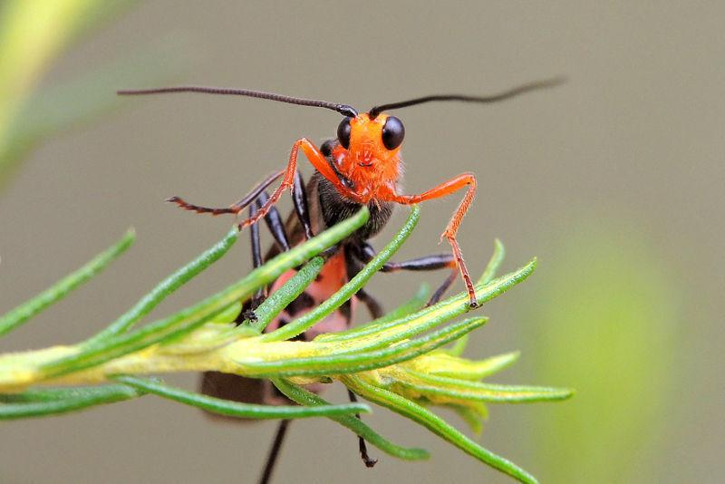 Braconidae wasp