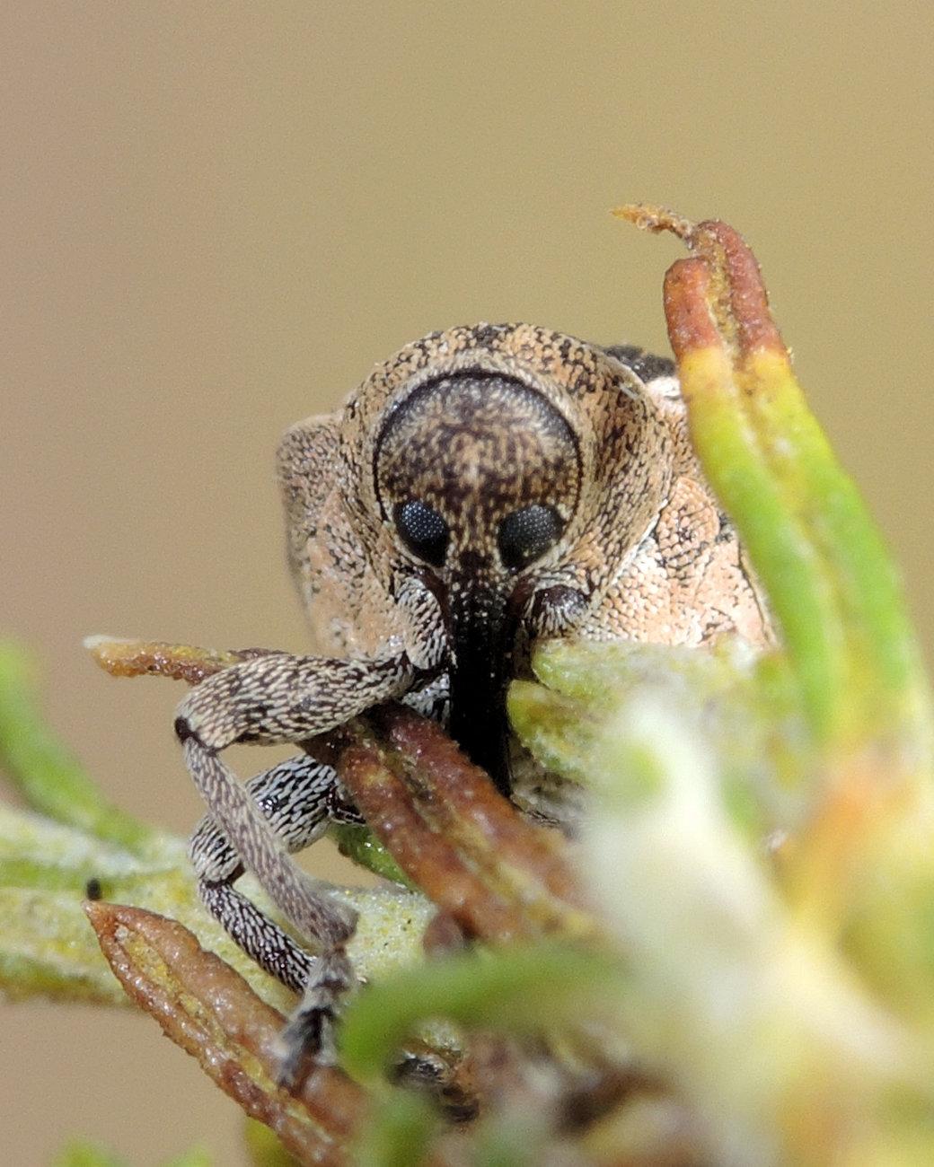 weevil (approx 6mil)