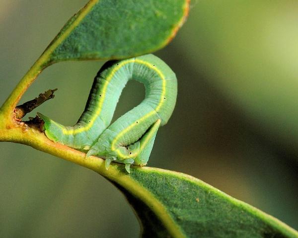 Caterpillar, green/yellow stripe. by nesnah53