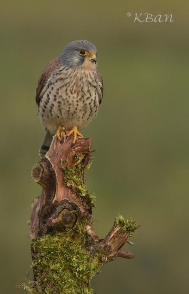 Wild Kestrel by KBan