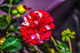 Red Dahlia by Night