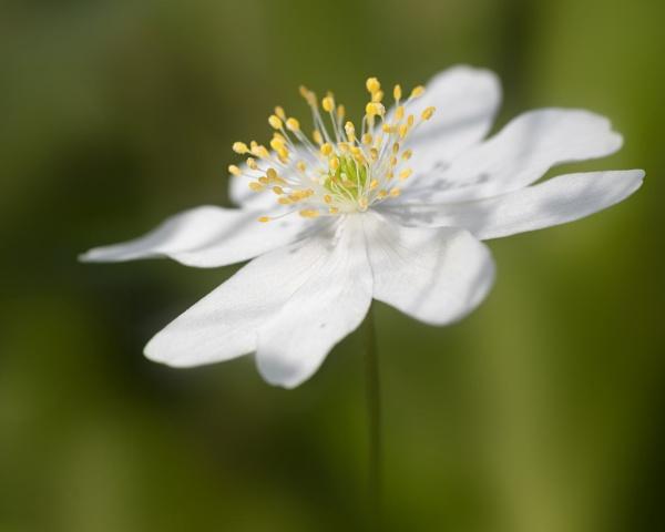 Woodland Anemone by swilliams71