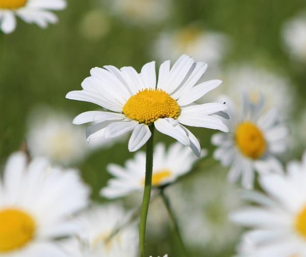 Daisy by BRobins