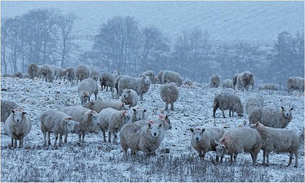 Sheep & Neeps by MalcolmM