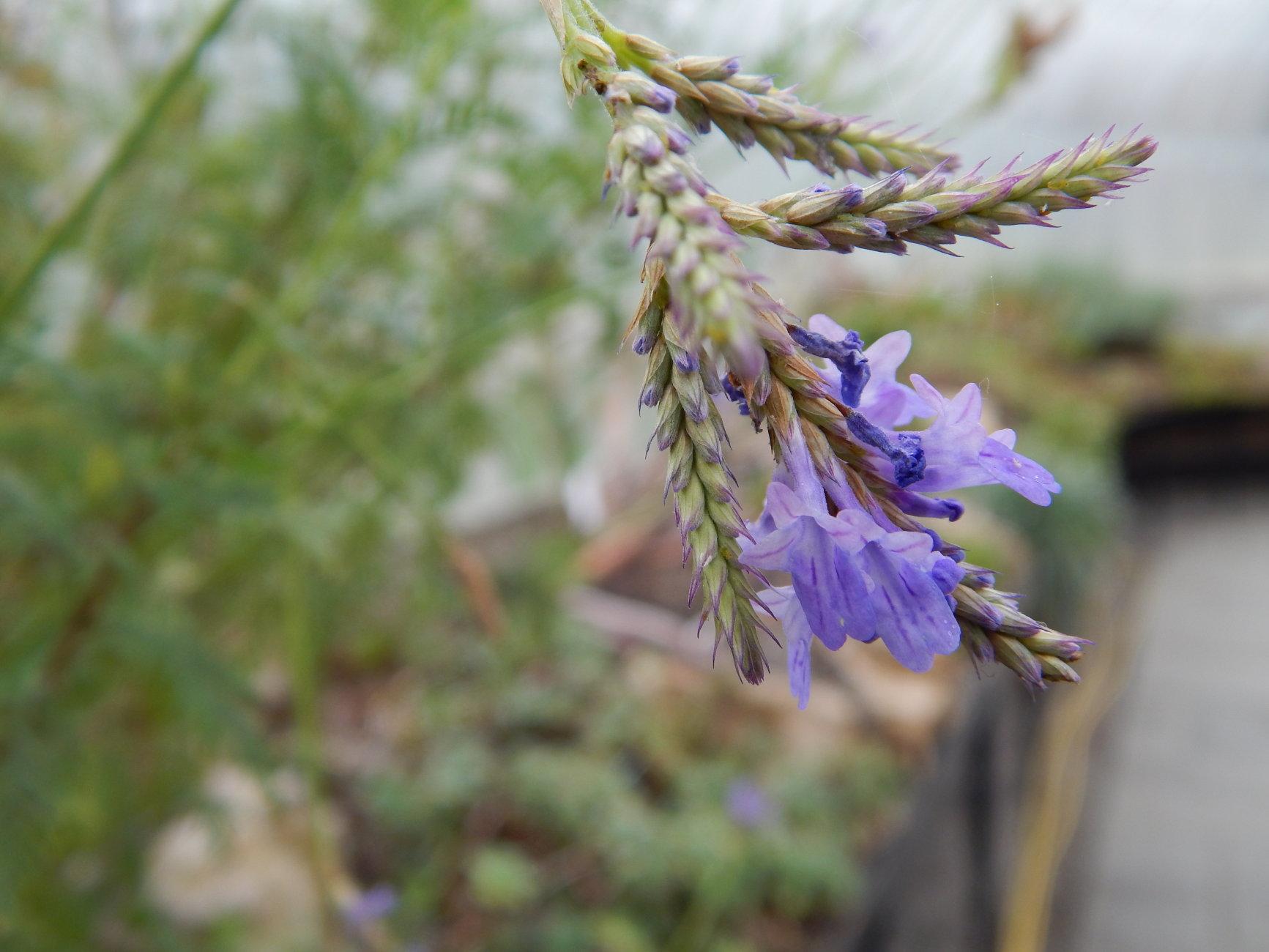 Botanic Gardens (Aeonium rubrolineatum)