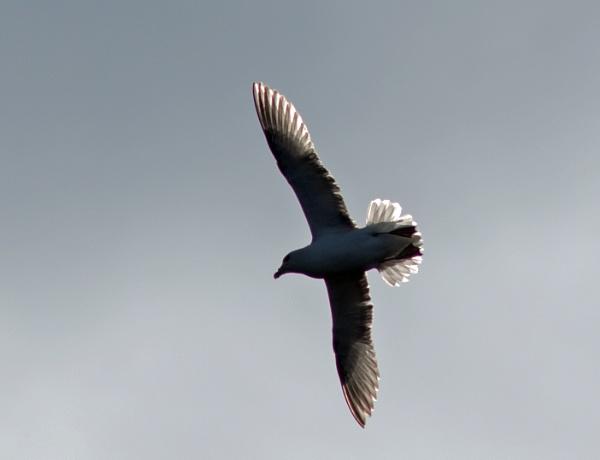 Fulmar in flight by oldgreyheron