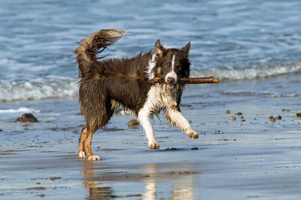 Dog with stick x 3 by oldgreyheron