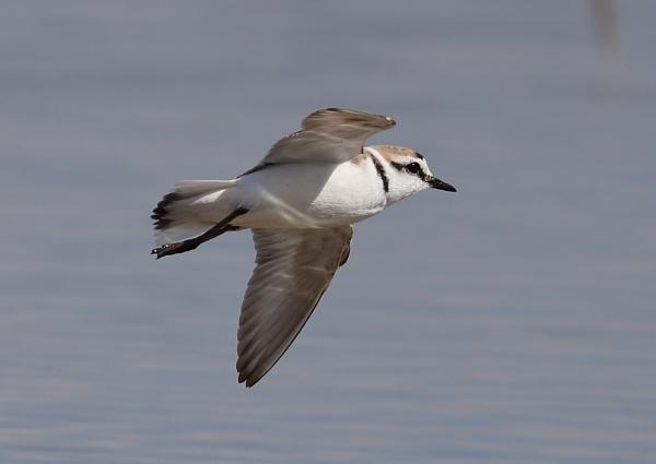 Kentish Plover in Flight by NeilSchofield