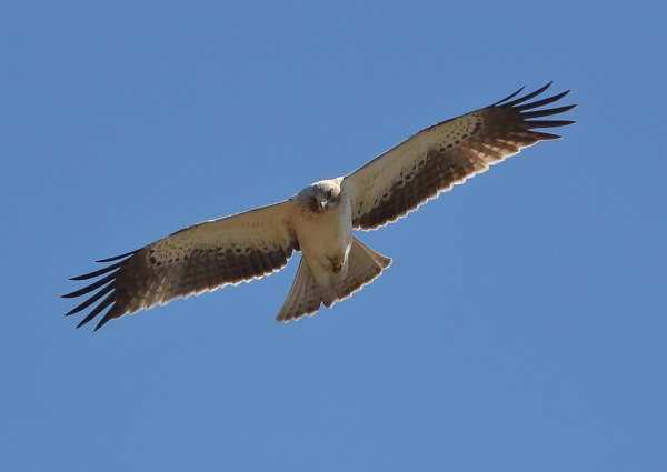 Booted Eagle by NeilSchofield
