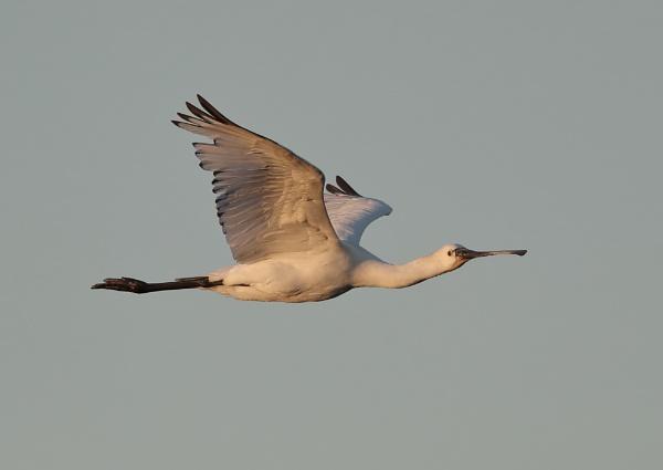 Spoonbill in Flight by NeilSchofield