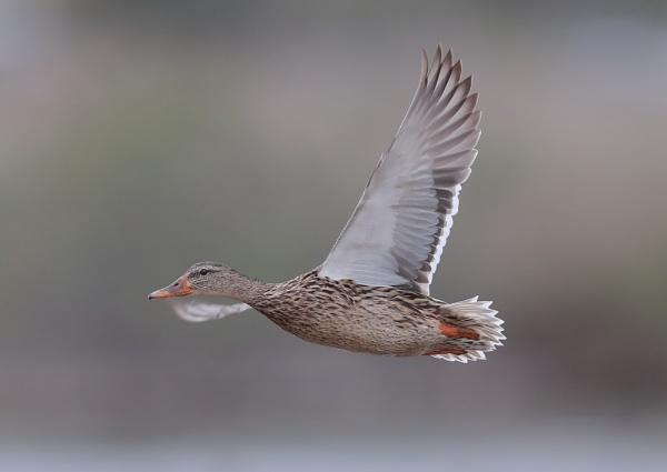 Mallards in Flight by NeilSchofield