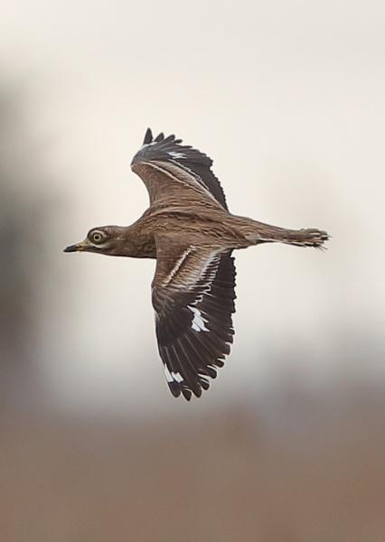 Stone Curlew in Flight by NeilSchofield