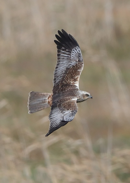 Male Marsh Harrier by NeilSchofield