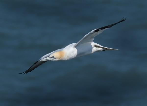 Gannet in flight. by paulbroad