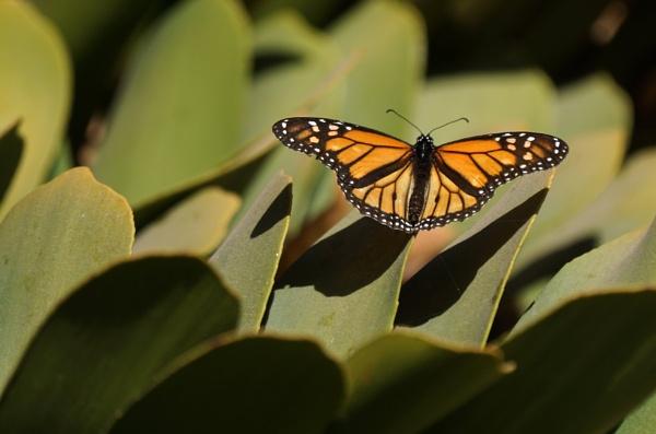 Monarch Butterfly by Silverzone