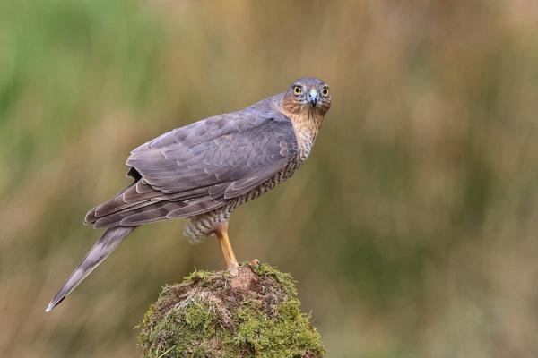 Sparrow Hawk ( Juvenile) by HenB