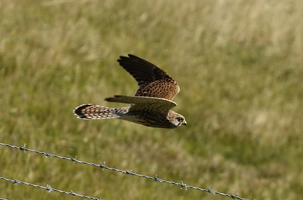 Kestrel, going for the kill by mike9005