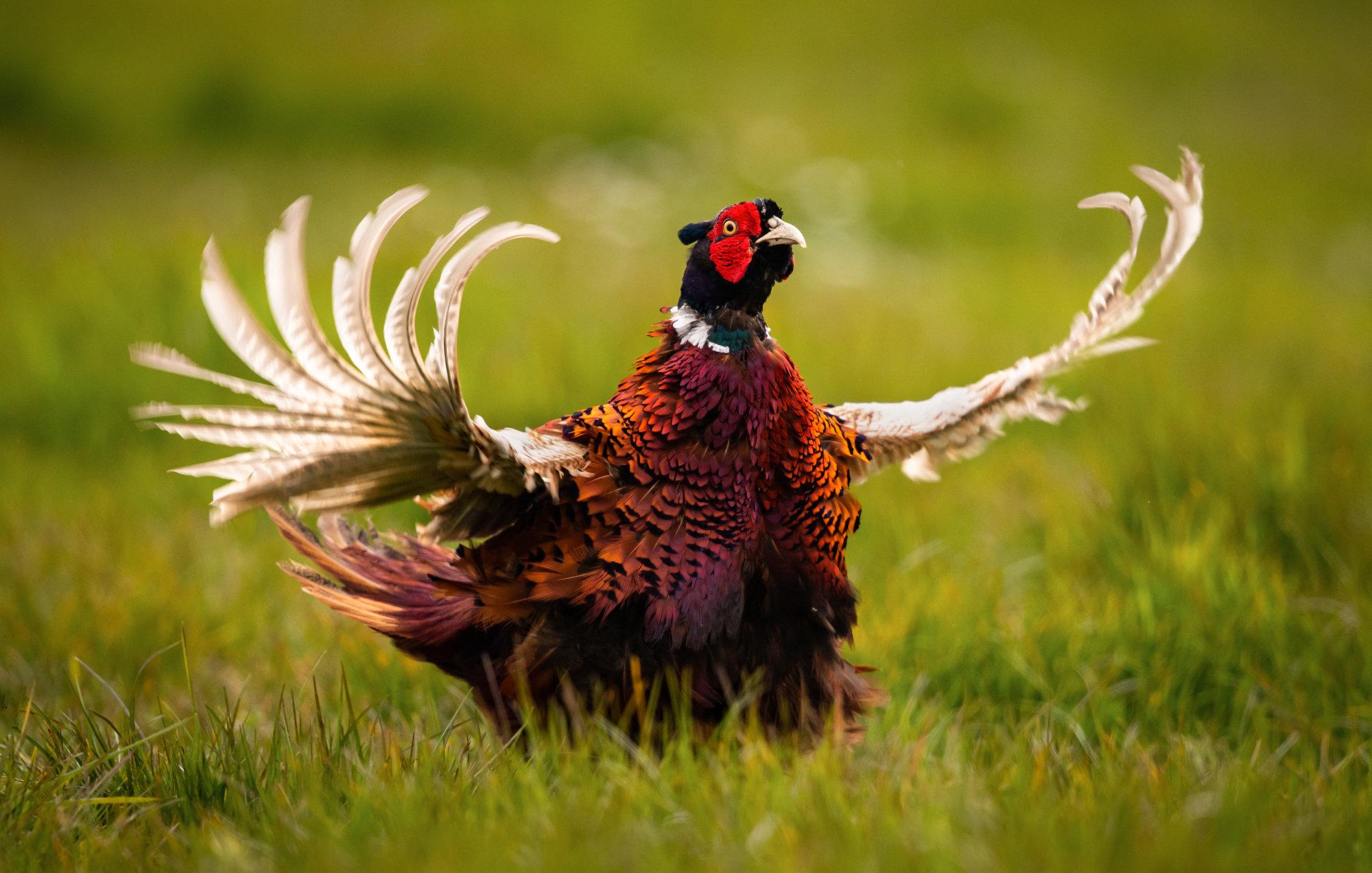 Pheasant calling
