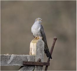 Cuckoo Time
