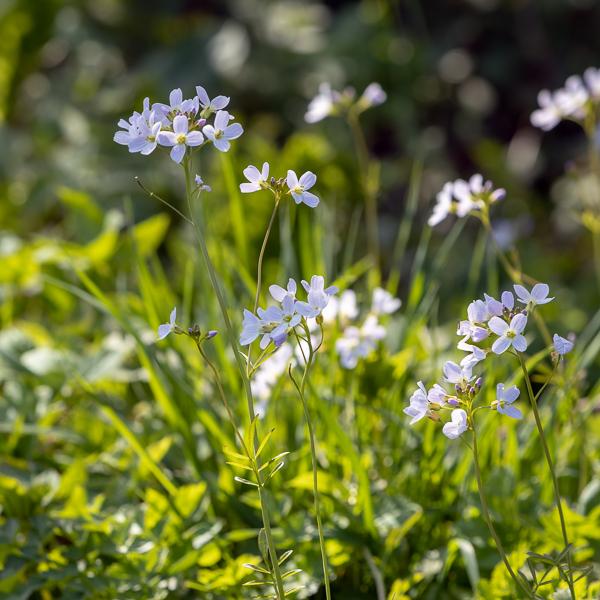 Cuckoo flowers (Cardamine pratensis) flowering in the spring sun