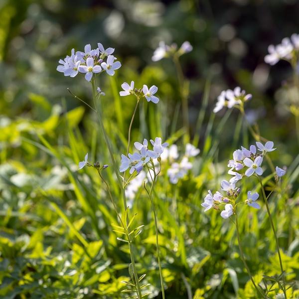 Cuckoo flowers (Cardamine pratensis) flowering in the spring sun by Phil_Bird