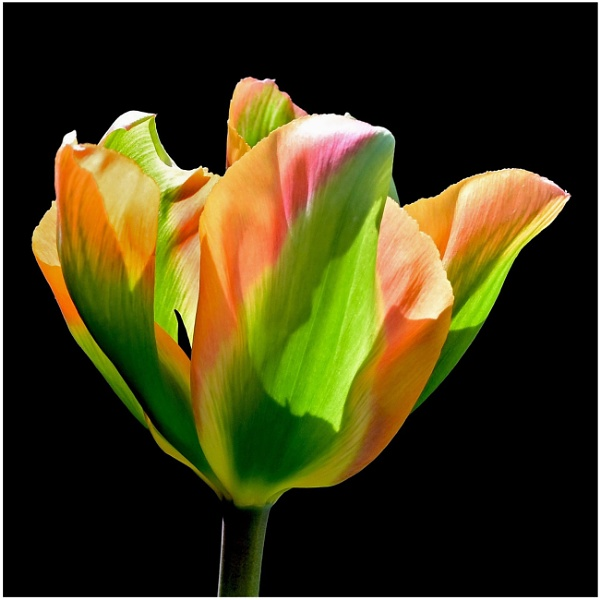 ""\""""Easter Tulip"""" by RonnieAG""600|600|?|en|2|9f42ac2324b9655437bb47e5e07a64e4|False|UNLIKELY|0.3131095767021179