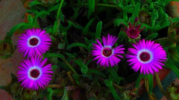 Ice Plant Bloom by RajaSidambaram