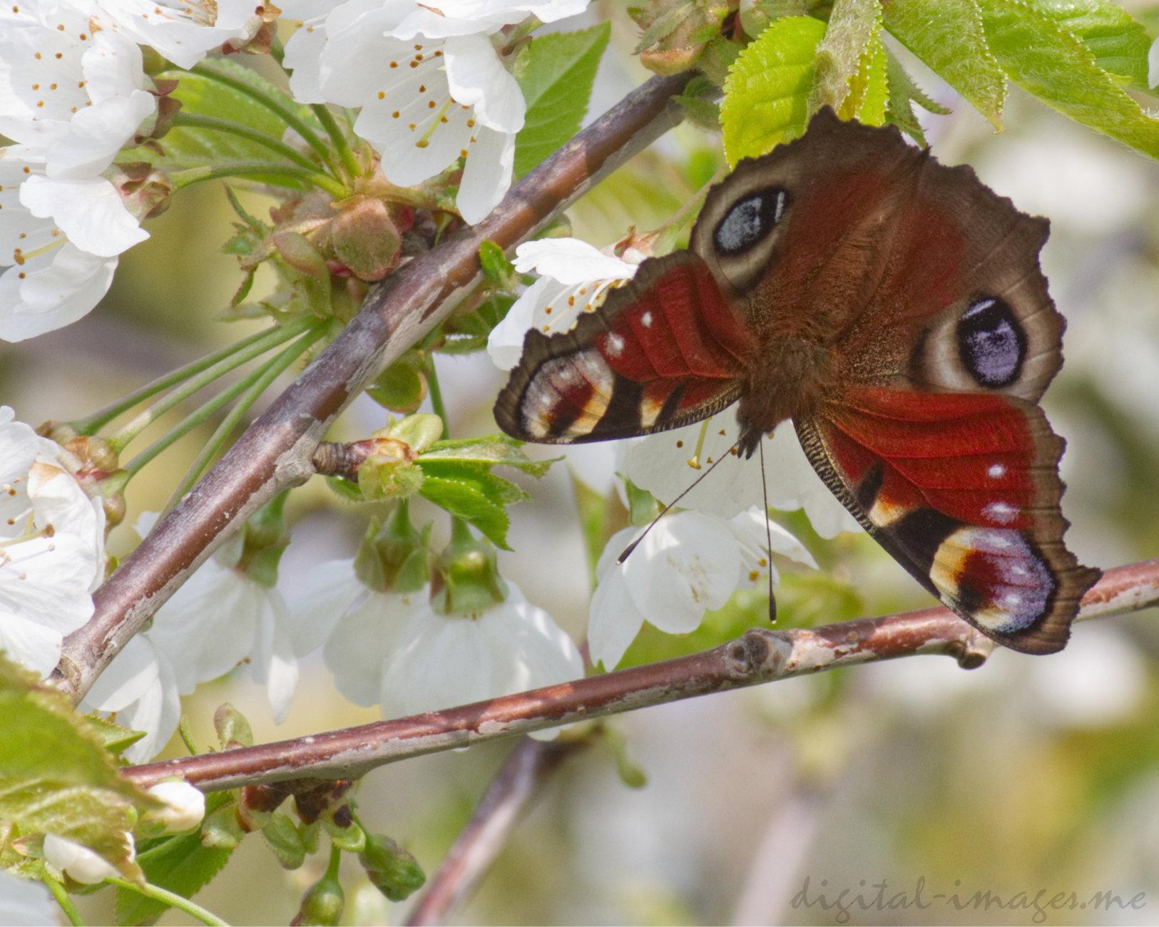 Peacock & Cherry Blossom
