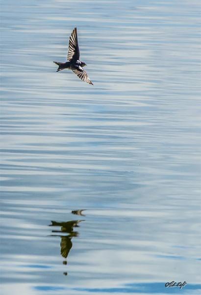 Swallow (7549) over Lake Horowhenua by paulknight