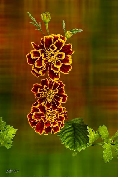 Marigold (0006) by paulknight