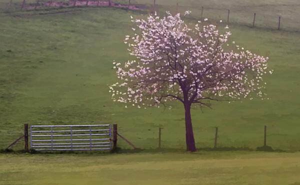 Spring Blossom by Irishkate