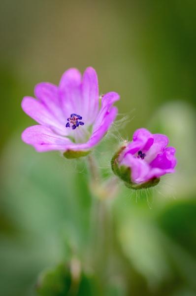Little purple flower by chavender