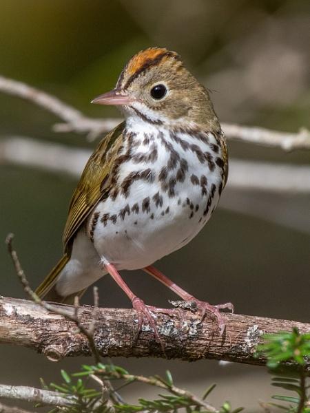 Ovenbird. by JeffGresko