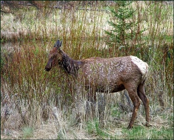 Roe Deer by JuBarney
