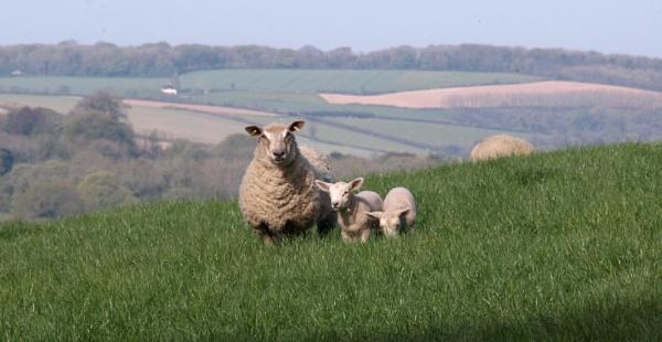 Lambs ... by JuBarney