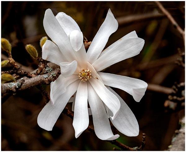 White Magnolia by mac
