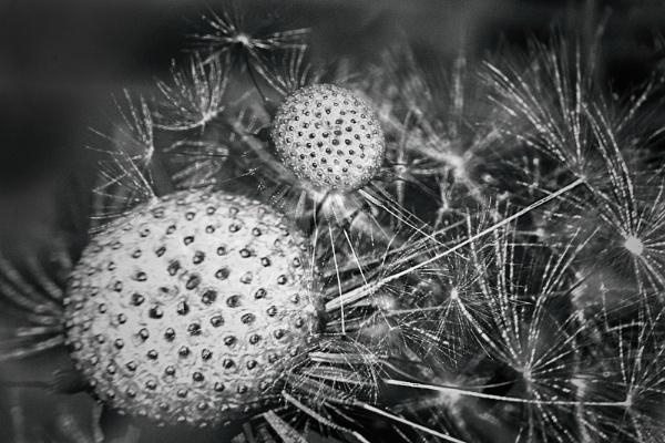 Dandelions by akh